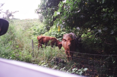 Cows on the side of Hana Road